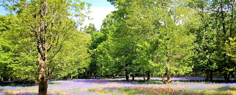 Bluebells on Ashridge near Berkhamsted
