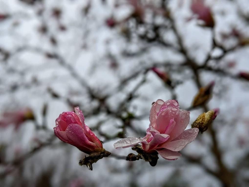 Magnolia starting to bloom. Berkhamsted, Hertfordshire,United Kingdom, sent by brian gaze