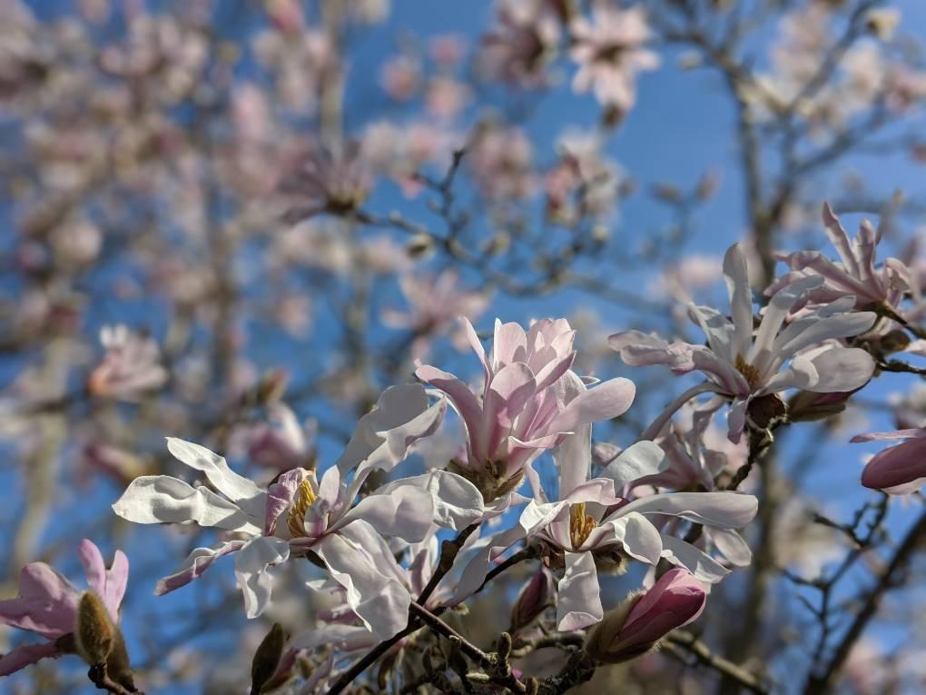 Magnolia. Berkhamsted, Hertfordshire,United Kingdom, sent by brian gaze