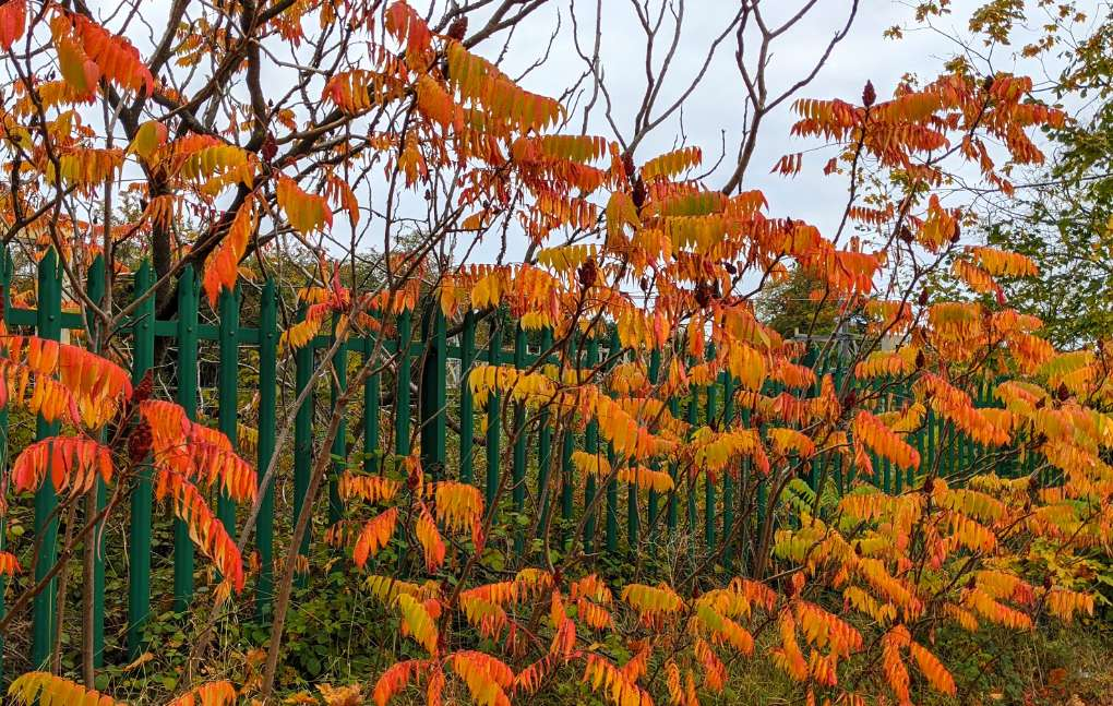 Autumn colours in Berkhamsted Berkhamsted, Herts,, sent by brian gaze