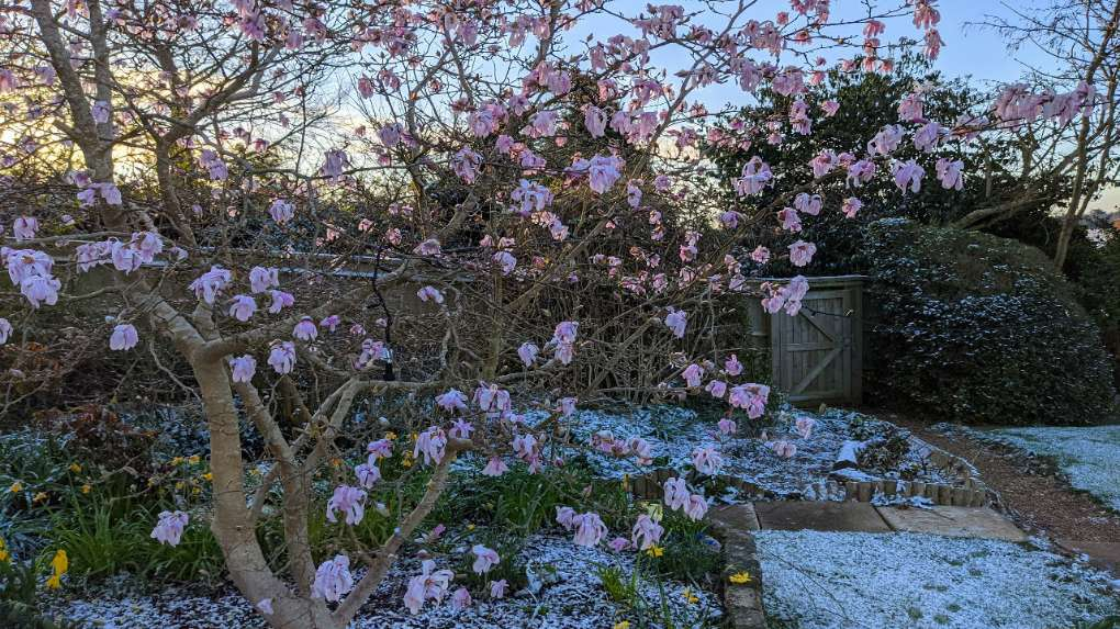 Magnolia wilting in the cold weather Berkhamsted, Herts,, sent by brian gaze