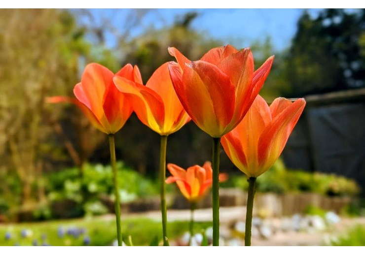 Tulips blooming in the sun. Posted by brian gaze